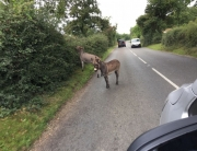 Donkeys on the road!